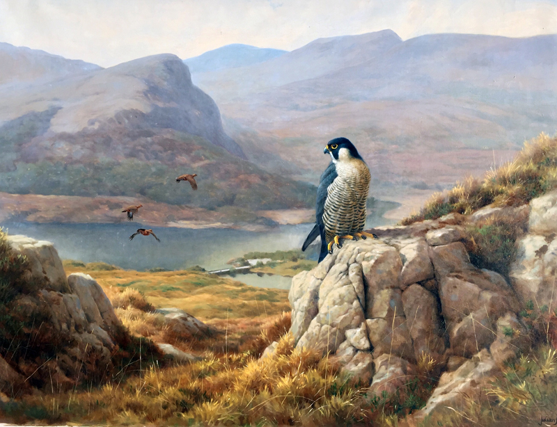 Peregrine and Red Grouse, Upper Lake, Killarney
